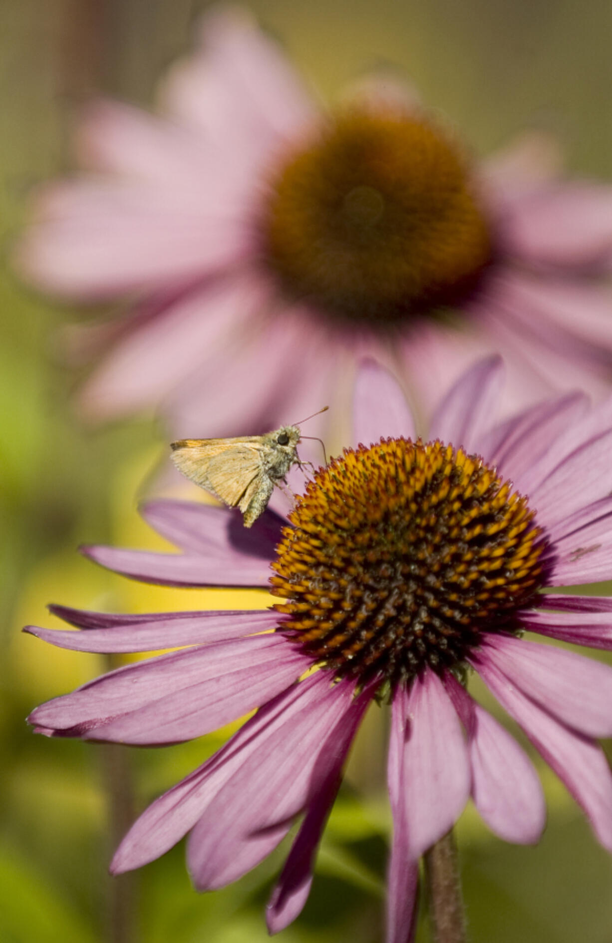 A moth lands on a purple coneflower. Moths spend the winter in a larval stage then emerge when the weather warms.