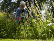 Volunteer Anne Devereaux examines some of her favorite flowers at the Jane Weber Evergreen Arboretum. Devereaux said she's in her eighth year working at the arboretum.