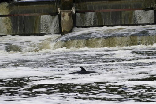 A Minke whale, which was freed on Sunday after it became stuck on Richmond lock's boat rollers but has remained in the Thames, is seen near Teddington Lock in London, Monday, May 10, 2021. A Port of London Authority spokesperson said a whale had never been seen this far up the Thames before, some 95 miles from its mouth.