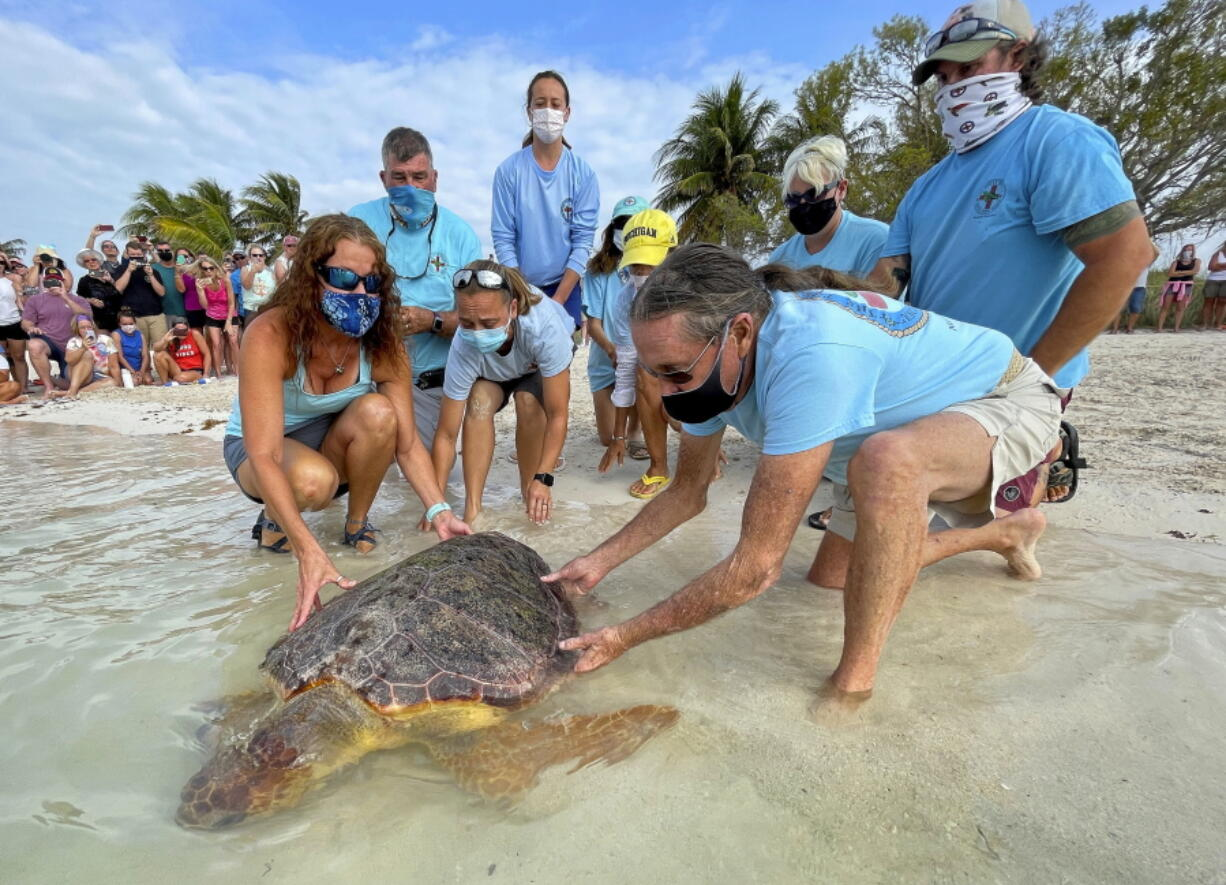 """Bette Zirkelbach, front left, and Richie Moretti, front right, manager and founder respectively of the Florida Keys-based Turtle Hospital, release """"Sparb,"""" a sub-adult loggerhead sea turtle, April 22 at Sombrero Beach in Marathon, Fla."""