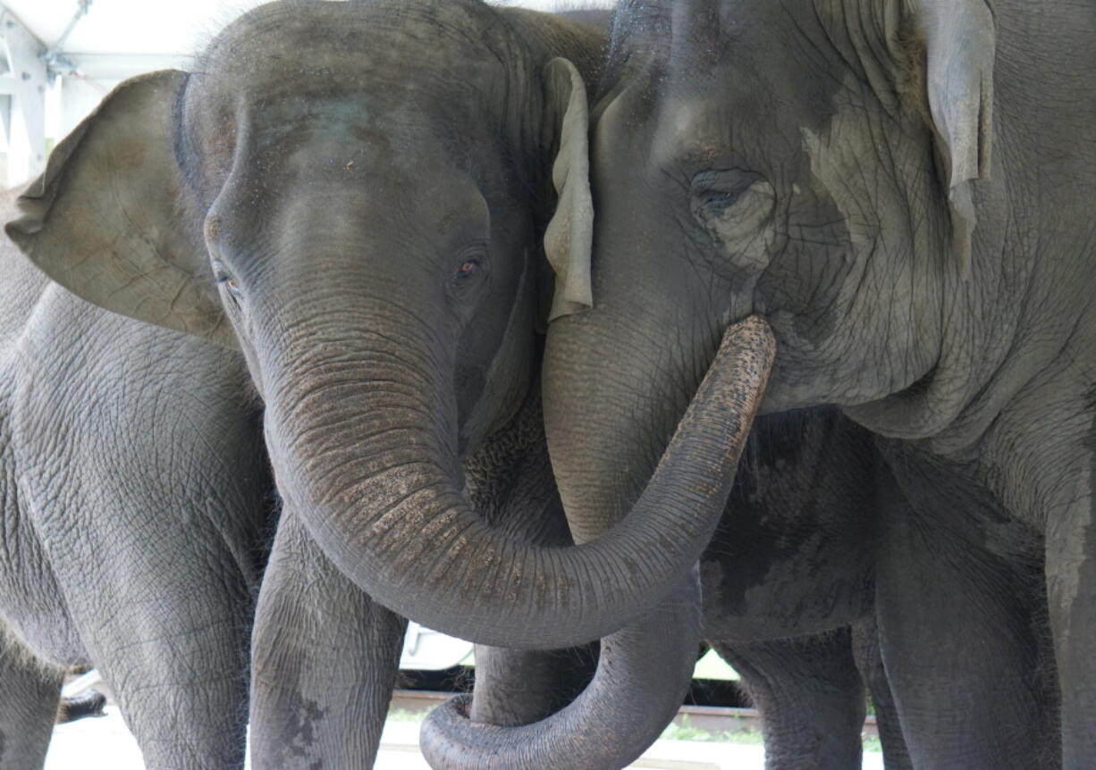 In this Sept. 2019, photo provided by the White Oak Conservation, Asian elephants, Kelly Ann, born Jan. 1, 1996, and Mable, born April 6, 2006, are seen at the Center for Elephant Conservation in Polk City, Fla.  A Florida wildlife sanctuary is building a new 2,500-acre home for former circus elephants. The White Oak Conservation Center announced Wednesday, Sept. 23, 2020, that it's expecting to welcome 30 Asian elephants starting next year.