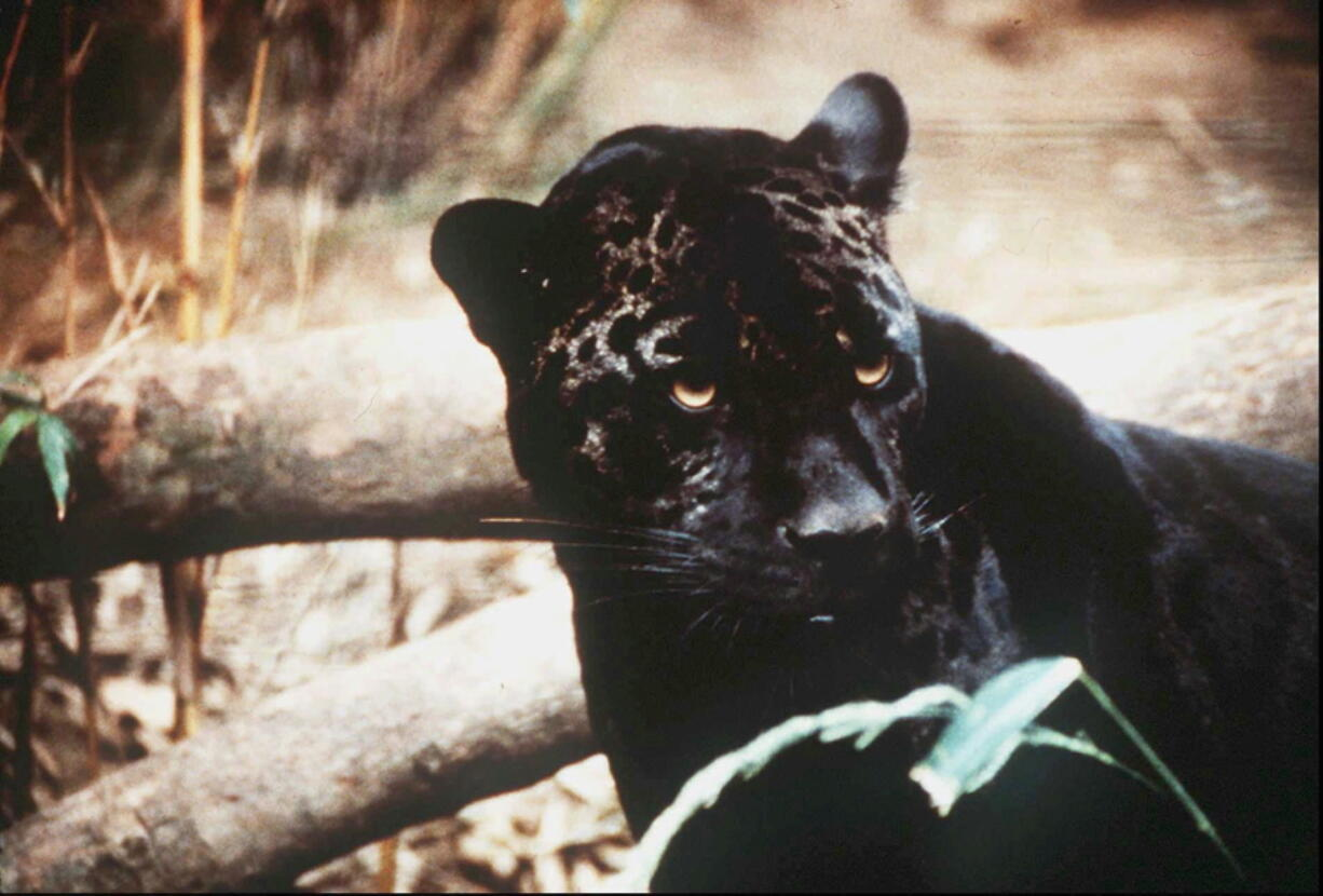 FILE - In this undated file photo a jaguar is shown. Environmental groups and scientists with two universities are suggesting that U.S. wildlife managers consider reintroducing jaguars to the American Southwest. In a recently published paper, they say habitat destruction, highways and existing segments of the border wall mean that natural reestablishment of the large cats north of the U.S.-Mexico boundary would be unlikely over the next century without human intervention.