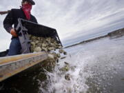 """Kyle Pfau, an oysterman with Fat Dog Shellfish Co., dumps out a tray of adult """"Uglie"""" oysters from Maine onto a relocation area at Great Bay, Monday, May 3, 2021, in Durham, N.H. Thousands of Uglies from Maine, which were left to grow due to lack of retail demand of more than a year because of the virus outbreak, were relocated to Great Bay to enhance the shellfish species in New Hampshire coastal waters."""