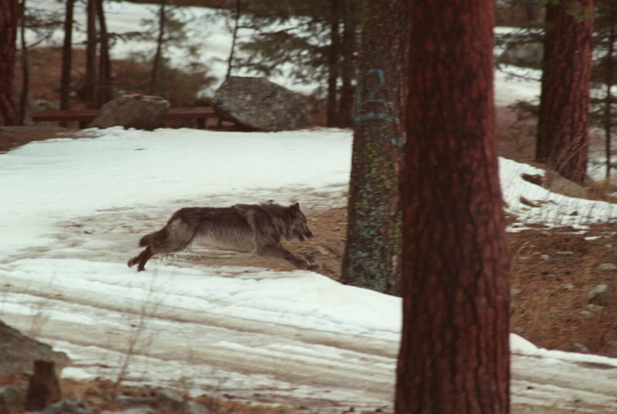 FILE - In this Jan. 14, 1995, file photo, a wolf leaps across a road into the wilds of Central Idaho. The Center for Biological Diversity, a conservation group, is asking the U.S. government to cut off millions of dollars to Idaho that's used to improve wildlife habitat and outdoor recreation opportunities in the wake of legislation that could lead to killing 90% of the wolves in the state.