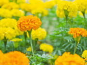 Yellow marigolds blooming in the garden.