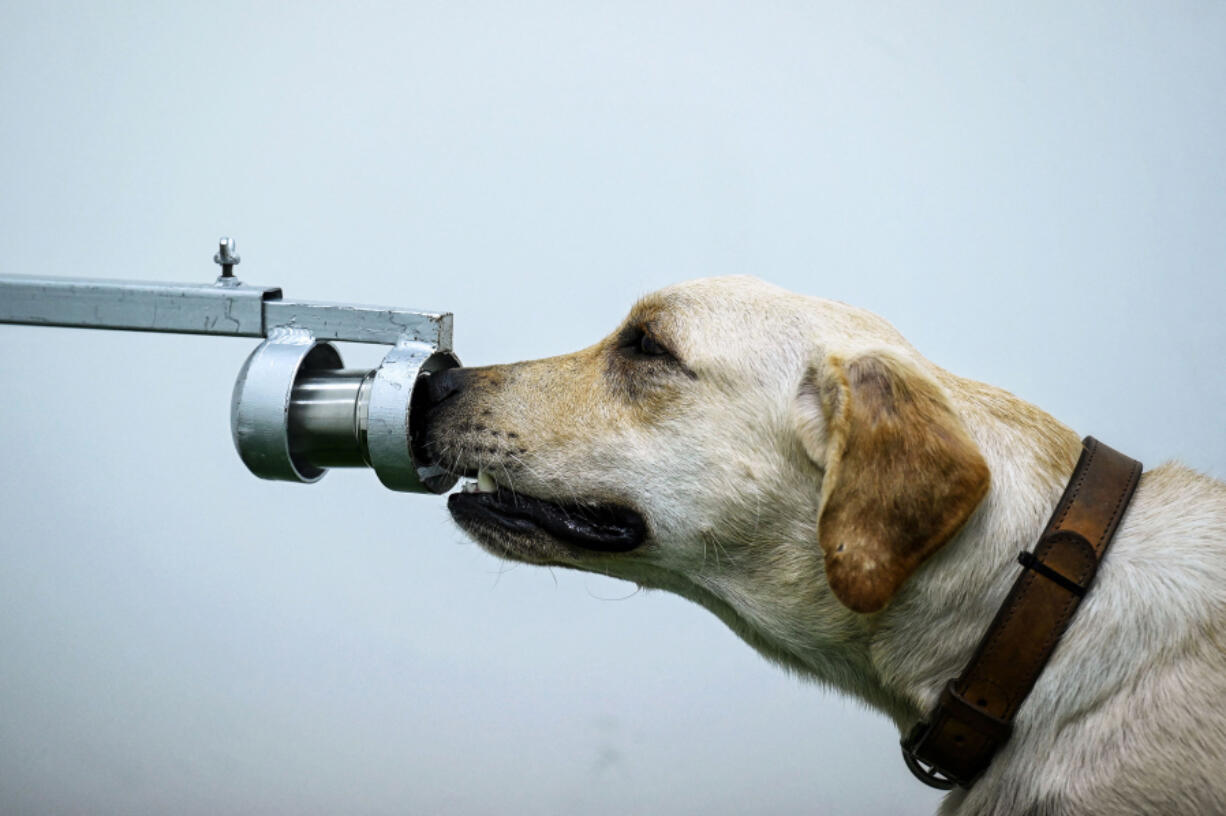 Bobby the K9 retriever dog sniffs sweat samples in a test to detect the COVID-19 coronavirus through volatile organic compounds at the Faculty of Veterinary Science at Chulalongkorn University in Bangkok on May 21.