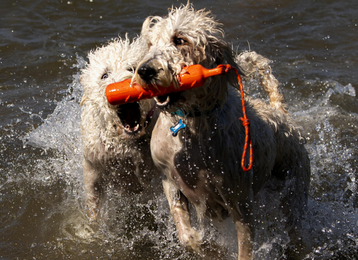 Simba and Nala, a pair of Labradoodles, fight for a floating toy Saturday morning at Washougal's Cottonwood Beach. The West Columbia Gorge Humane Society's Hike the Dike event was canceled due to extreme heat, but dogs were still able to get exercise in the water.