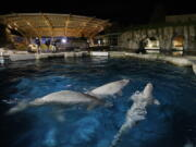 Three beluga whales swim together in an acclimation pool after arriving at Mystic Aquarium, Friday, May 14, 2021 in Mystic, Conn. The whales were among five imported to Mystic Aquarium from Canada for research on the endangered mammals. The aquarium is announcing that it will be auctioning off the names of three of the new belugas to raise money for their care.