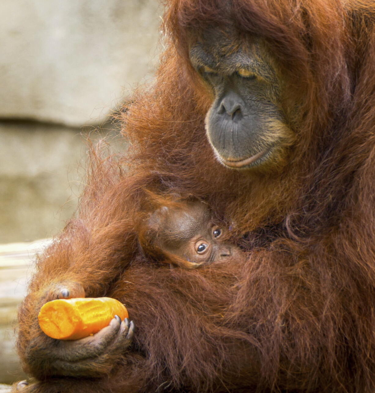 Sumatran orangutan Reese holds her infant daughter at the Audubon Zoo in New Orleans on May 3.