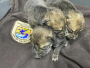 A litter of Mexican Wolf pups sleep before being placed into a den in the wild as part of the U.S. Fish and Wildlife Service's cross-fostering program in southwestern New Mexico. (U.S.