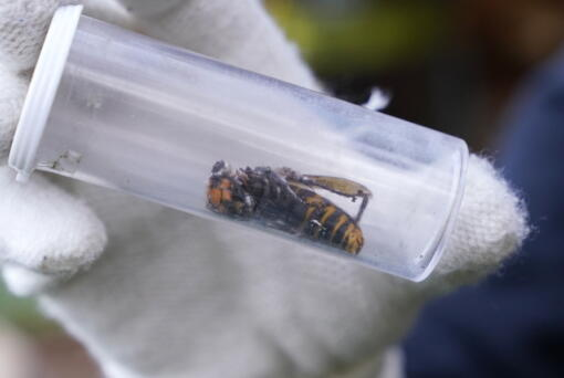 FILE - In this Oct. 24, 2020 file photo a Washington State Department of Agriculture worker displays an Asian giant hornet taken from a nest, in Blaine, Wash. Scientists have found a dead Asian giant hornet north of Seattle, the first so-called murder hornet found in the state this year, federal and state investigators said Wednesday, June 16, 2021.