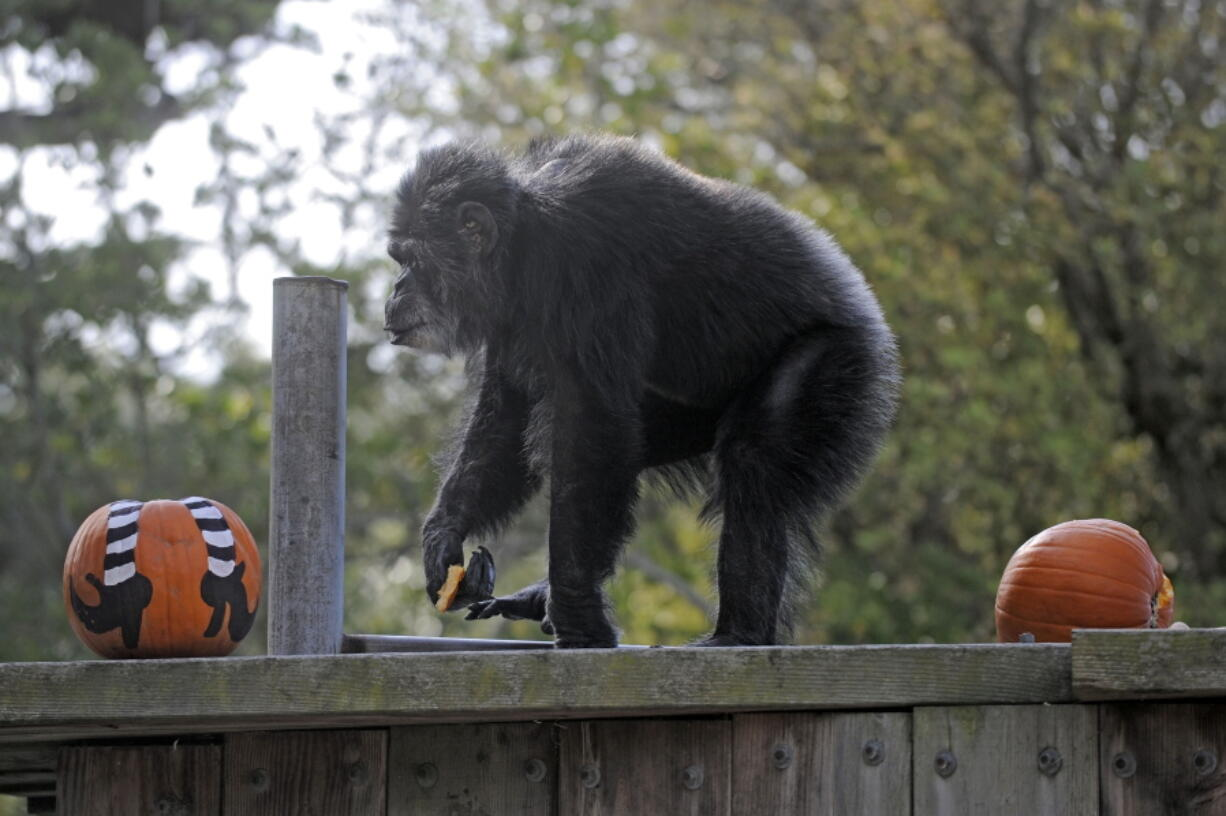 FILE - In this Oct. 21, 2009, file photo, Cobby, a male chimpanzee, plays with pumpkins during the San Francisco Zoo's 'Boo at the Zoo' Halloween celebration in San Francisco. Cobby, the oldest male chimpanzee living in an accredited North American zoo died Saturday, June 5, 2021, at the San Francisco Zoo & Gardens. He was 63. Cobby, had been a hand-reared performing chimpanzee before he was brought to the San Francisco zoo in the 1960s. (AP Photo/Russel A.
