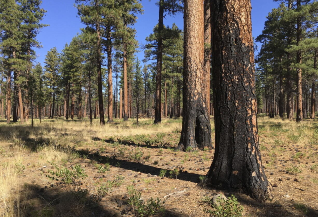 FILE - This Sept. 27, 2017, file photo, shows charred trunks of Ponderosa pines near Sisters, Ore., months after a prescribed burn removed vegetation, smaller trees and other fuel ladders last spring. Hundreds of millions of acres of forests have become overgrown, prone to wildfires that have devastated towns, triggered massive evacuations and blanketed the West Coast in choking smoke. Today, officials want to sharply increase prescribed burns, with drought and global warming creating a sense of urgency.