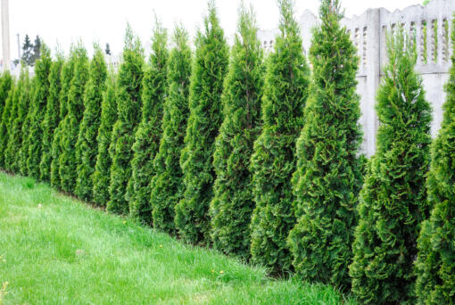 Choose evergreens such as arborvitae to increase privacy.
