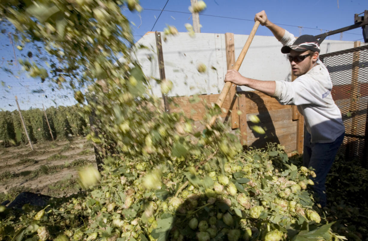 Josh Frank spreads hops as they're dumped into a truck following a harvesting combine in 2011 at the Puterbaugh Farms in Mabton. The Yakima Valley and the U.S. are looking at record hop acreage.