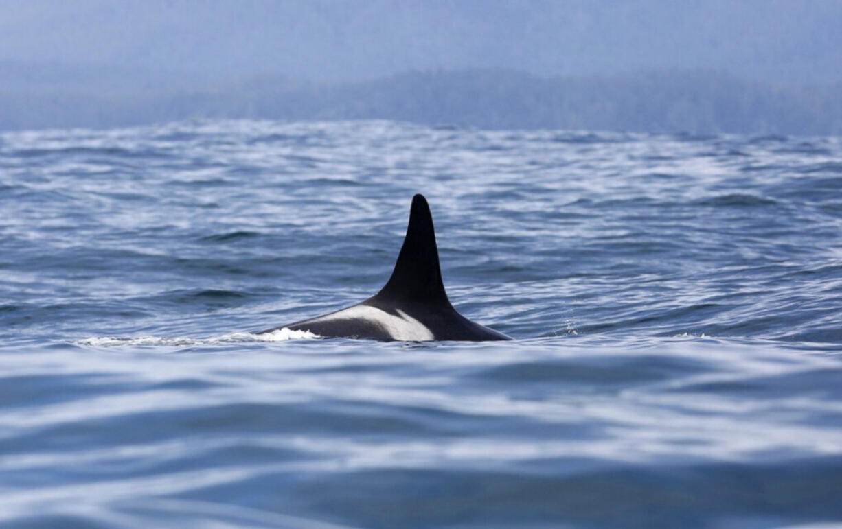 L25 is the oldest of all the southern resident orca whales, estimated to have been born in 1928, before any of the vast environmental change now confronting her family.