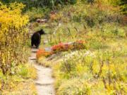 A mother black bear looks for her cubs as she walks along the Wonderland Trail inside Mount Rainier National Park.