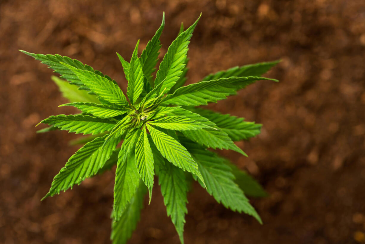 Thousands of conventional farmers, marijuana growers and rookie entrepreneurs likewise rushed to plant hemp, eager to cash in on a newly legal crop. But rather than making a fortune, many lost one as their crops failed and the skyrocketing hemp supply depressed prices. (Dreamstime/TNS) (When Matt Cyrus grew about 30 acres of hemp on his central Oregon hay and cattle farm four years ago, the cannabis plants -- rich in cannabidiol, or CBD, a trendy wellness product -- sold for about $40 a pound. That earned him a tidy profit.