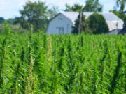 A hemp field. Thousands of conventional farmers, marijuana growers and rookie entrepreneurs likewise rushed to plant hemp, eager to cash in on a newly legal crop. But rather than making a fortune, many lost one as their crops failed and the skyrocketing hemp supply depressed prices.