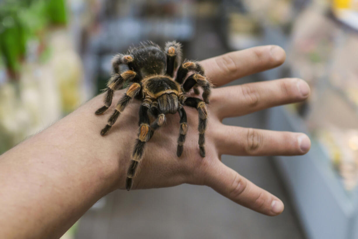 Researchers are looking into whether venom from the tarantula spider could help relieve chronic pain.