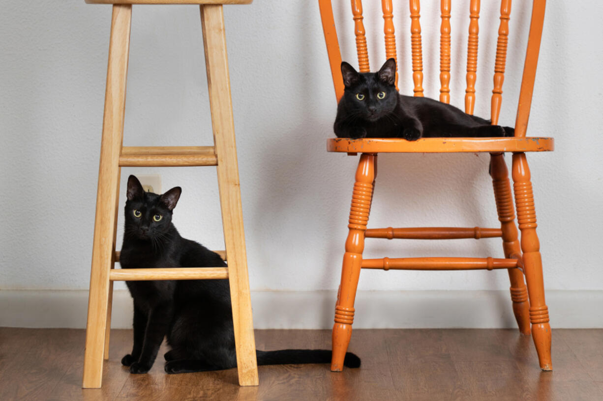 Researchers at the University of California-Davis have found that gene mutations in cats can affect their response to heart disease medication.