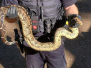 Camas Police and Animal Control responded to a call of large snakes in Lacamas Park.