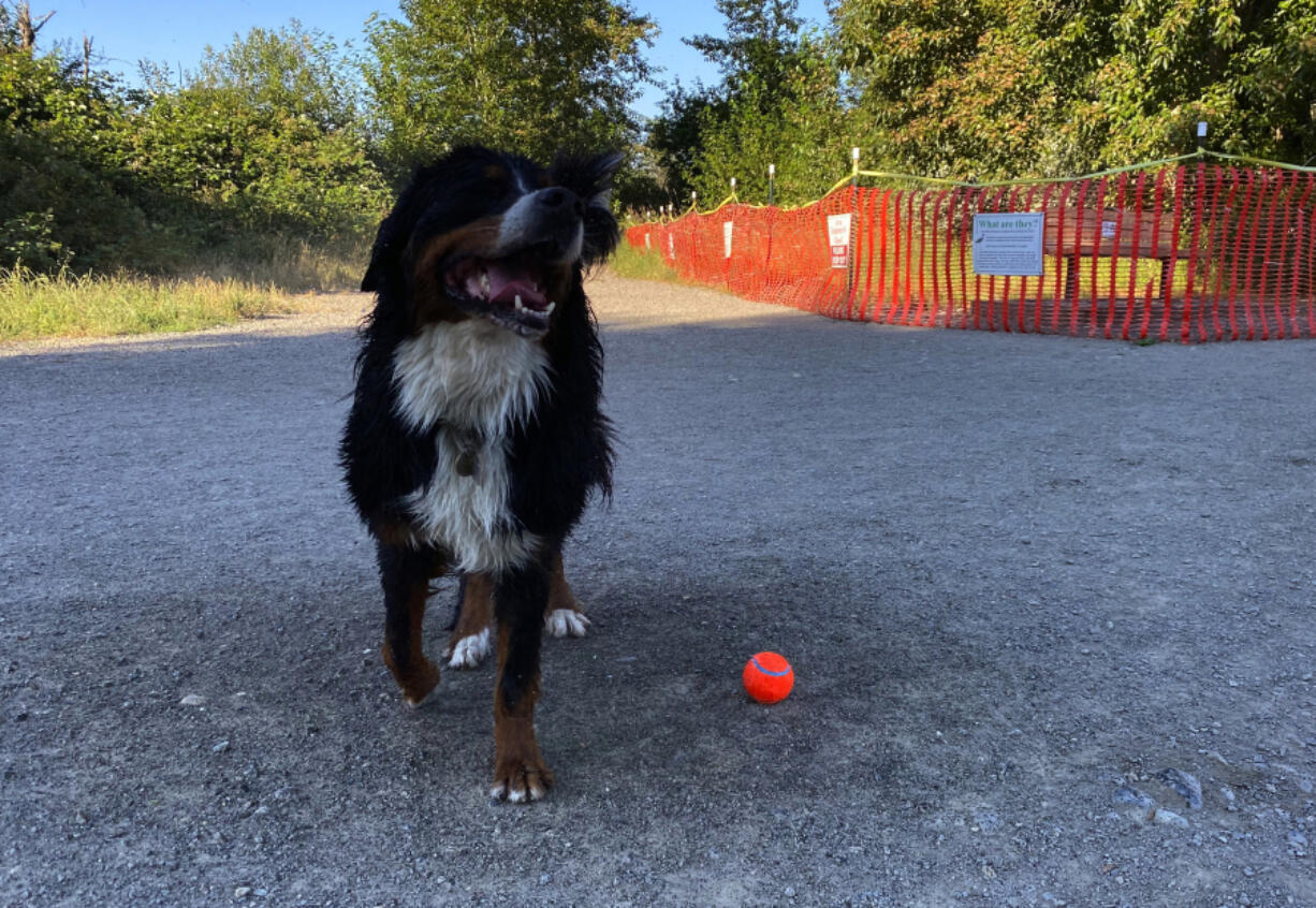 Rainy the Burnese mountain dog celebrates a wet, successful fetch with a shake on July 5 at Marymoor Park in Redmond. Behind him, signs mark a patch of the park that is occupied by nesting herons, and therefore closed to humans and their canine companions.
