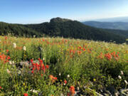 Wildflowers, including scarlet paintbrush, color the meadows on the northern slope of Silver Star Mountain east of Vancouver.