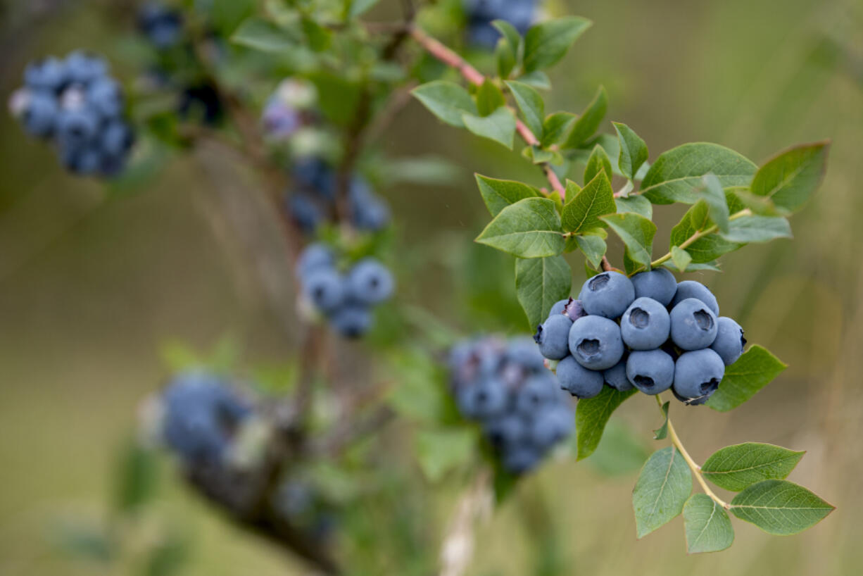 The Hockinson Blueberry Festival returns on Saturday from 10 a.m. to 1 p.m. in downtown Hockinson, featuring fresh berries and other farm products from local farms.