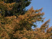 """After June's record-breaking heat wave, local trees and greenery are looking dry and scorched. But don't despair, said Vancouver urban forester Charles Ray. """"Give it a season of good tree care and deep watering,"""" he said."""