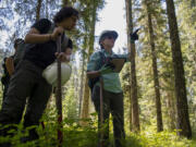 Bushwhacking through thick forest, Cascade Forest Conservancy intern Christian Villanueva, left, and science and restoration manager Suzanne Whitney use an iPad GPS system to track their location, and their own eyeballs to spot their next towering ponderosa pine tree. Volunteers went entirely off-trail and negotiated punishingly thick underbrush to find the giant pines.