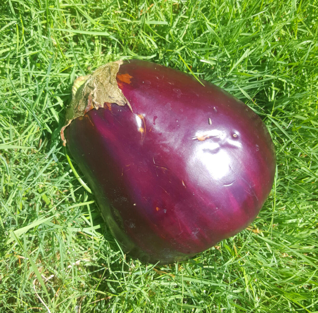 This big purple eggplant bears no resemblance to an egg, although the first eggplants to be eaten in England were small and white, like a chicken egg.