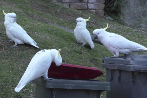 In this 2019 photo provided by researcher Barbara Klump, a sulphur-crested cockatoo lifts the lid of a trash can while several others watch in Sydney, Australia. At the beginning of 2018, researchers received reports from a survey of residents that birds in three Sydney suburbs had mastered the novel foraging technique. By the end of 2019, birds were lifting bins in 44 suburbs.