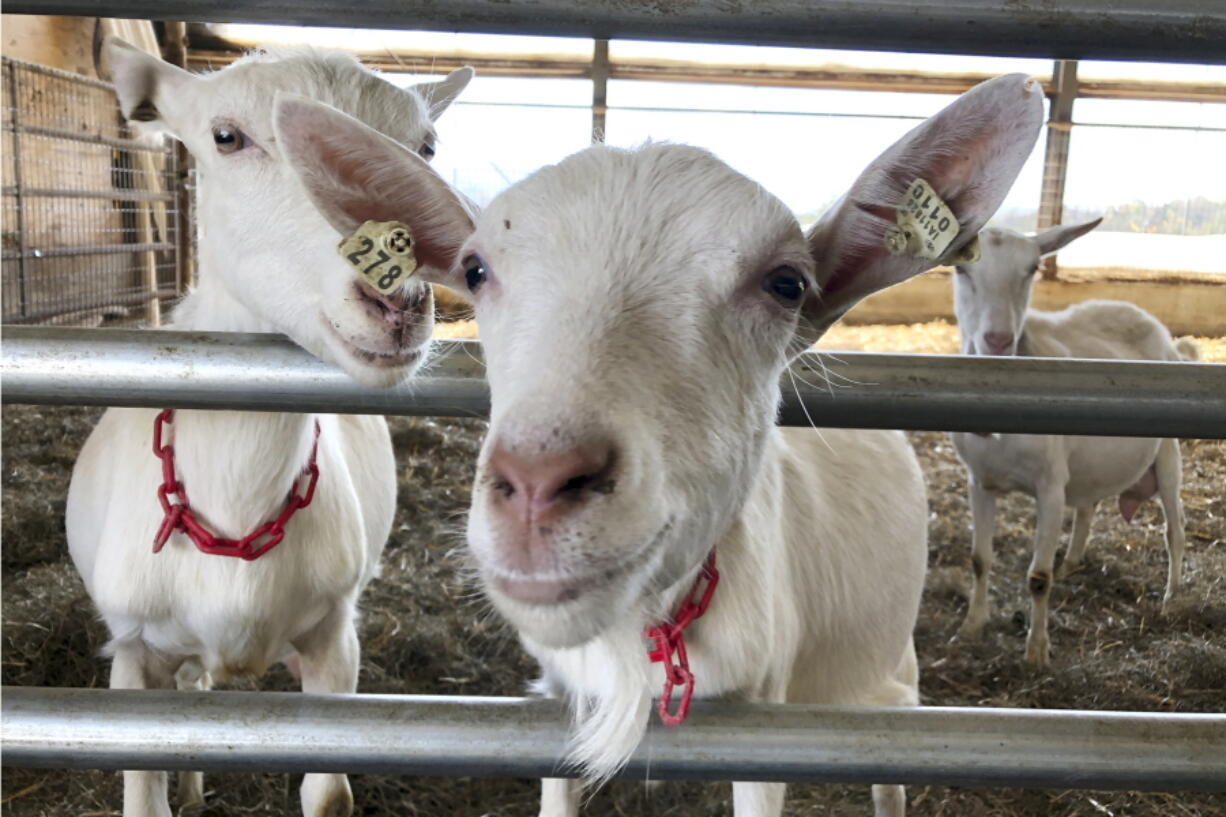 Dairy goats stand in a barn at Joneslan Farm, May 13, 2021, in Hyde Park, Vt. The farm sold its dairy cows and switched to goats, delivering its first goat milk in February to Vermont Creamery owned by Land O' Lakes for cheese making.