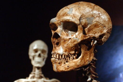 A reconstructed Neanderthal skeleton, right, and a modern human skeleton on display at the Museum of Natural History in New York. (Frank Franklin II)
