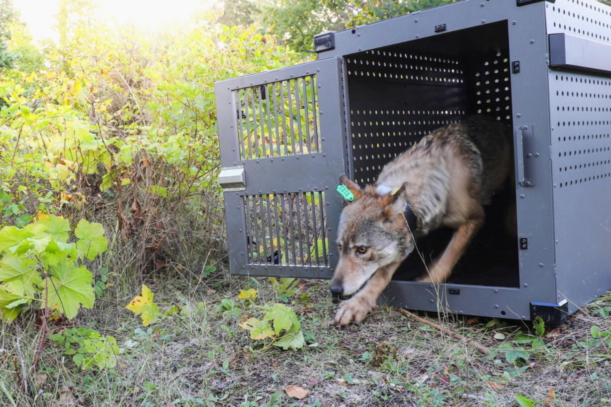 FILE - In this Sept. 26, 2018, file photo, provided by the National Park Service, a 4-year-old female gray wolf emerges from her cage as it is released at Isle Royale National Park in Michigan. Wolf pups have been spotted again on Isle Royale, a hopeful sign in the effort to rebuild the predator species' population at the Lake Superior national park, scientists said Monday, July 12, 2021.