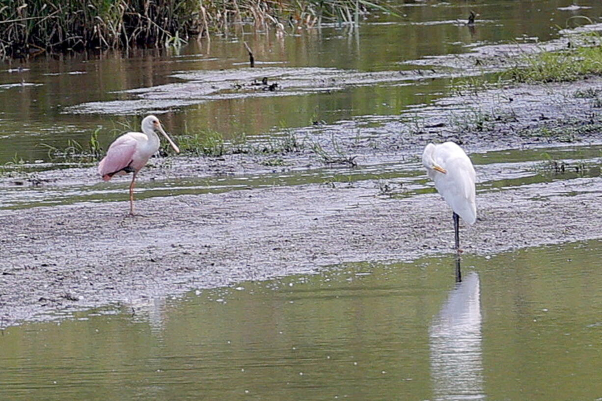 A roseate spoonbill, left, rests on a sandbar in a marshy area of Wilderness Park off Saline-Milan Road in Saline, Mich., on Tuesday, July 20, 2021. The bird typically lives in the Gulf Coast region.