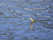 In this photo provided by the California Department of Fish and Wildlife, a juvenile Chinook salmon leaps from the raceway at the Iron Gate Fish Hatchery, Siskiyou County, Calif., July 7, 2021. Baby salmon are dying in the thousands in one river and an entire run of endangered salmon could be wiped out in another due to blistering  heat waves and extended drought in the U.S. West. Recently California fish and wildlife officials decided not to release more than 1 million hatchery-raised baby chinook salmon into the wild, and instead drove them to several hatcheries that could host them until Klamath River conditions improve.
