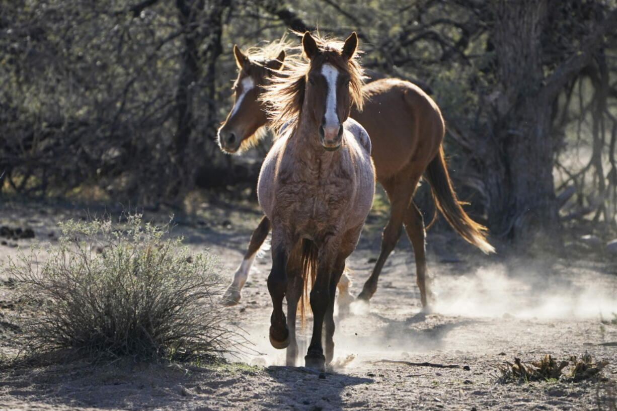 FILE - In this March 10, 2021, file photo, two Salt River wild horses kick up dust as they arrive at a site for emergency feeding run by the Salt River Wild Horse Management Group near Coon Bluff in the Tonto National Forest near Mesa, Ariz. Federal land managers say they're stepping up protections to guard against the illegal resale of wild horses and burros adopted from the government for slaughter after they've been captured on U.S. lands but mustang protection advocates say the Bureau of Land Management needs to do more.