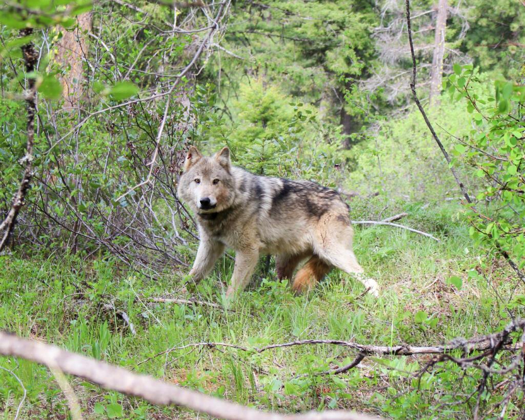 An endangered gray wolf.