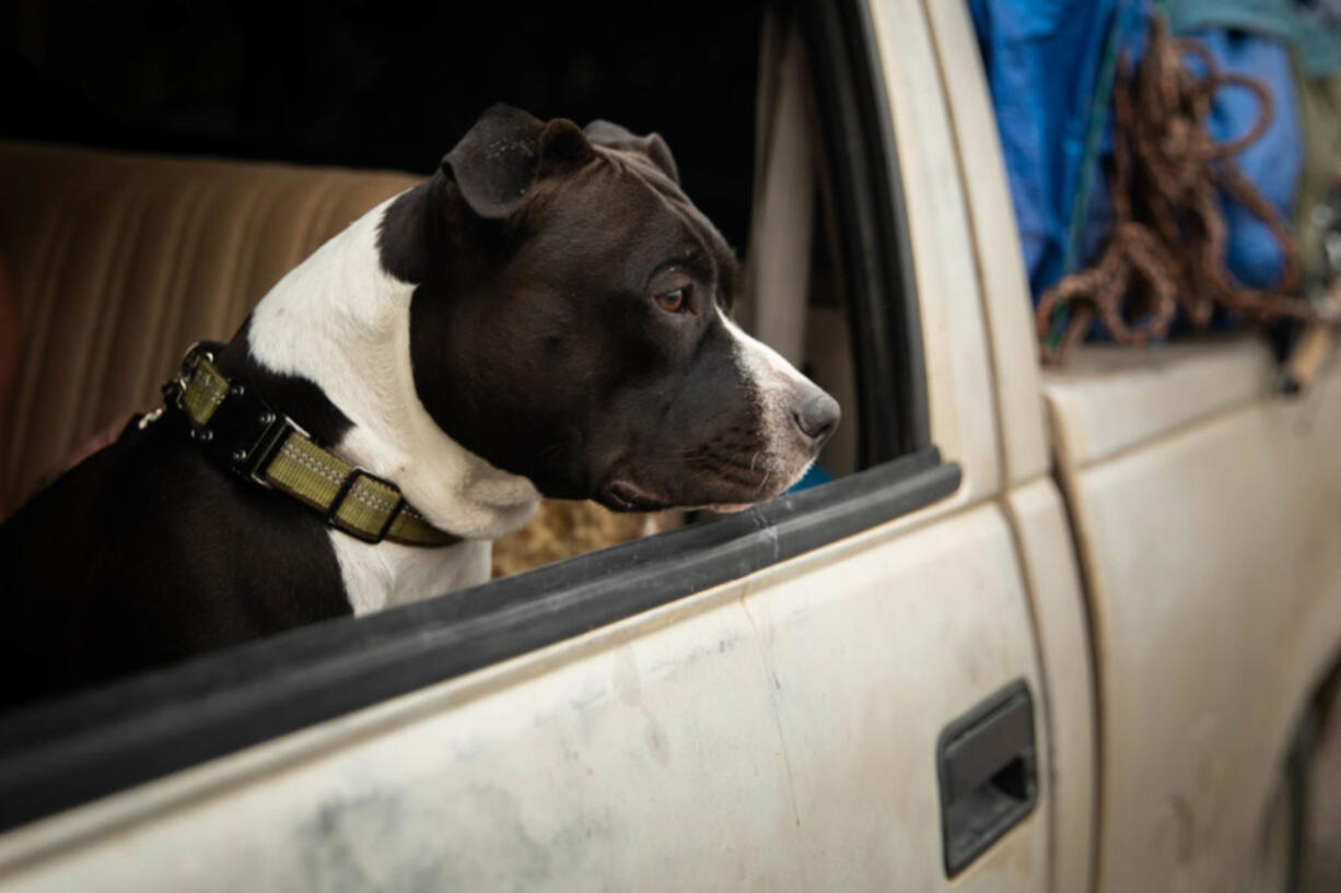 A dog named Alligator looks out the window of a truck at an evacuation center on Aug.7, in Susanville, Calif. (Maranie R.