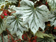 """""""Spectre Silver"""" is a showy variety of begonia."""