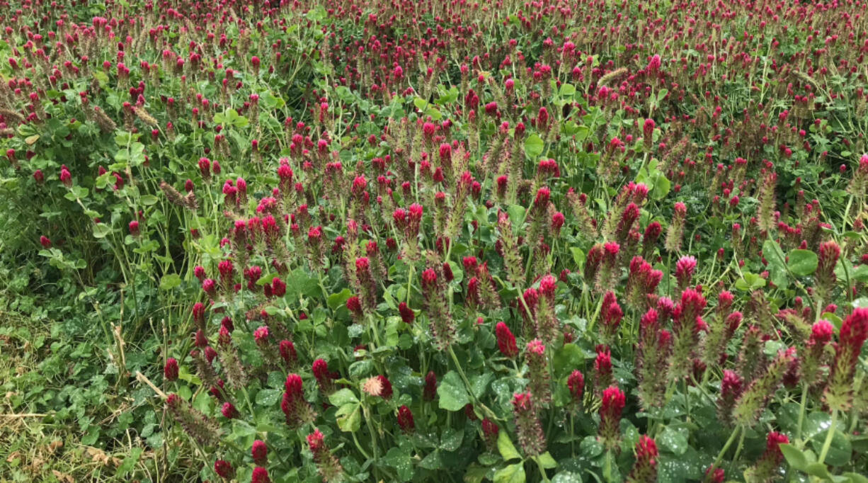 Crimson clover is an easy cover crop to start with.