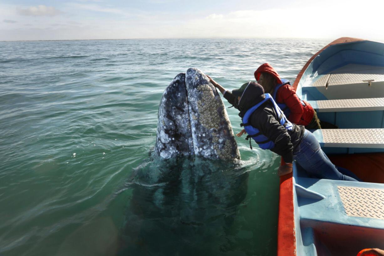 Balvi Vasquez pets and talks to a gray whale in San Ignacio Lagoon, Baja California, on February 16, 2021.