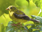 Dean Fosdick/Associated Press files   The willow goldfinch is an official symbol of Washington  or is it?