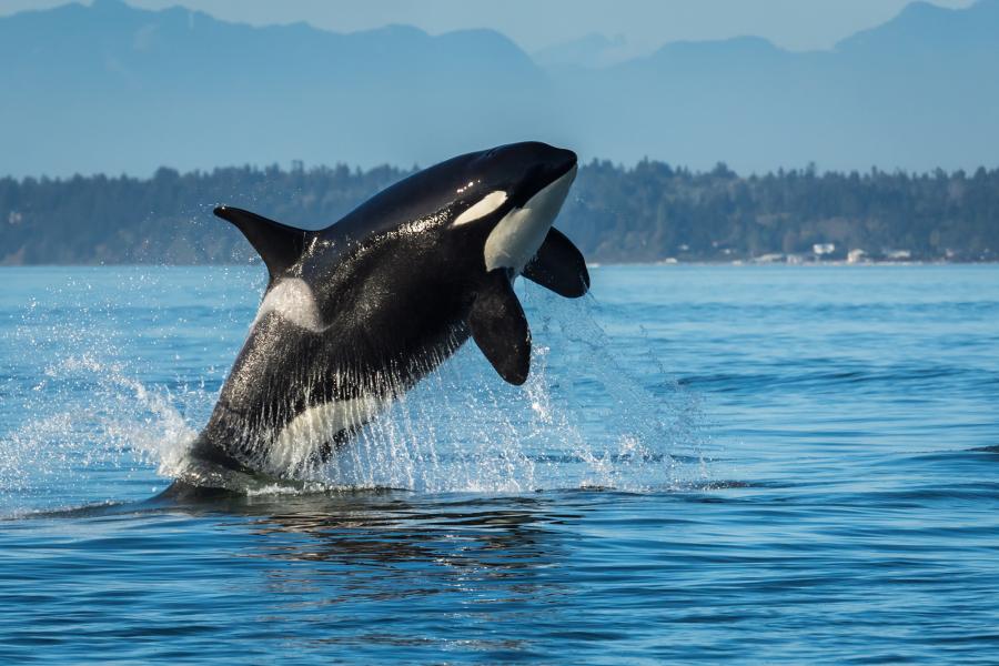 An orca leaps out of the Salish Sea near San Juan Island.