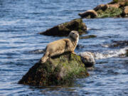 A harbor seal soaks up sun off San Juan Island.
