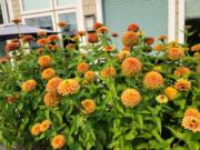 Zinnia Queeny Lime Orange grow to about 24 to 30 inches and make a nice cut flower.