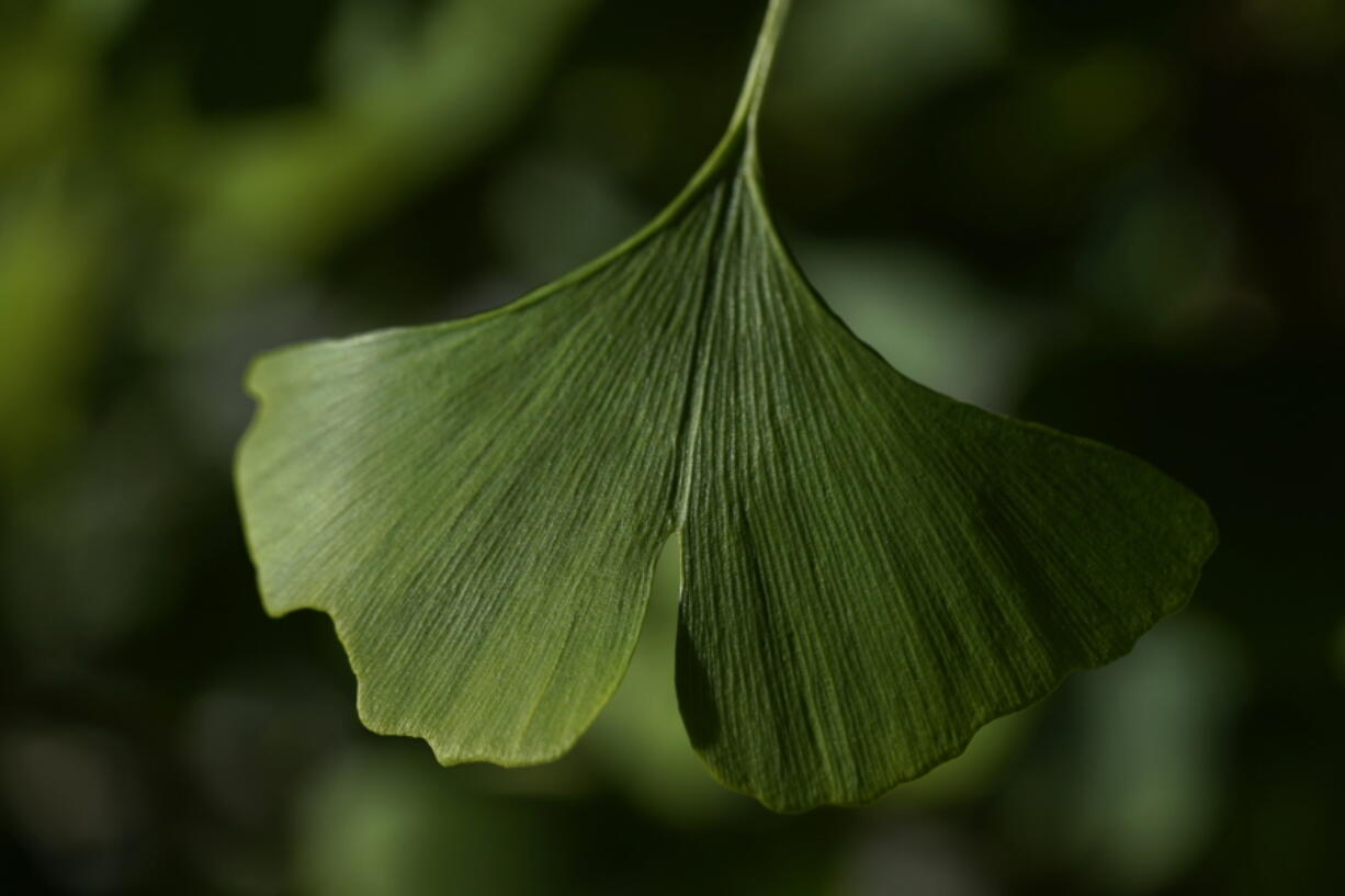"""A distinctive fan-shaped ginkgo leaf in the Fossils Atmospheres Project is seen in the morning sun at the Smithsonian Research Center in Edgewater, Md., Tuesday, May 18, 2021. """"Ginkgo is a pretty unique time capsule,"""" said Peter Crane, a Yale University paleobotanist."""