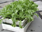 Endive seedlings (Lee Reich)